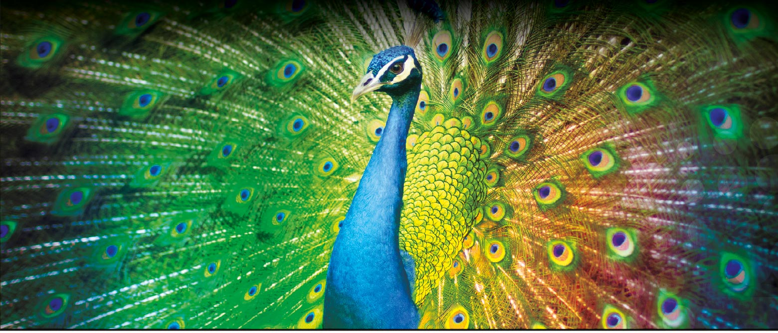 solway_print_peacock_look-fantastic_dumfries_printer